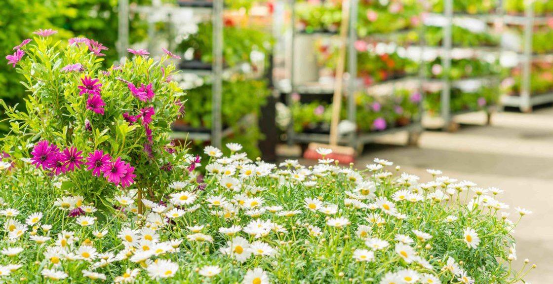 Margritter i en blomsterbutikk